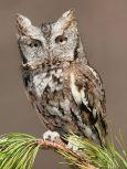 Eastern Screech Owl - Wiki - Wolfgang Wander